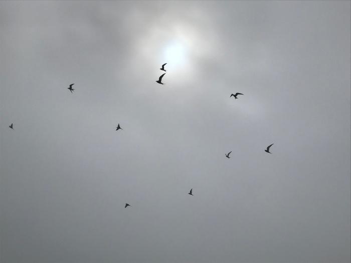 Arctic Terns preparing for their attack