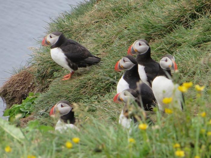 Puffins on Grímsey's Western Cliffs