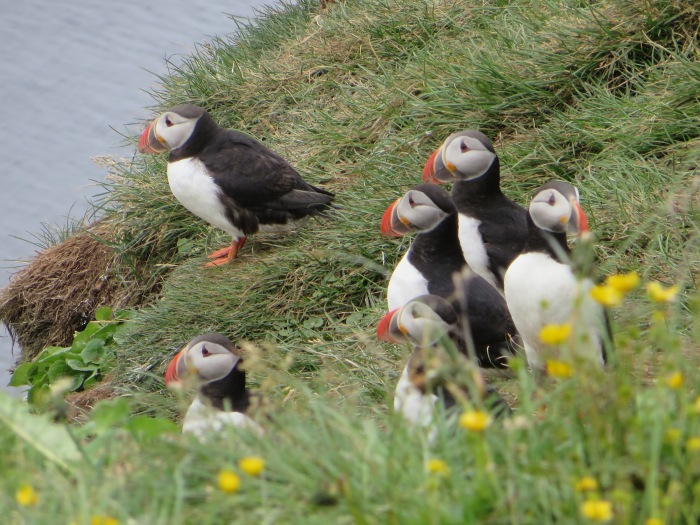 Puffins on Grímsey's Western Cliffs